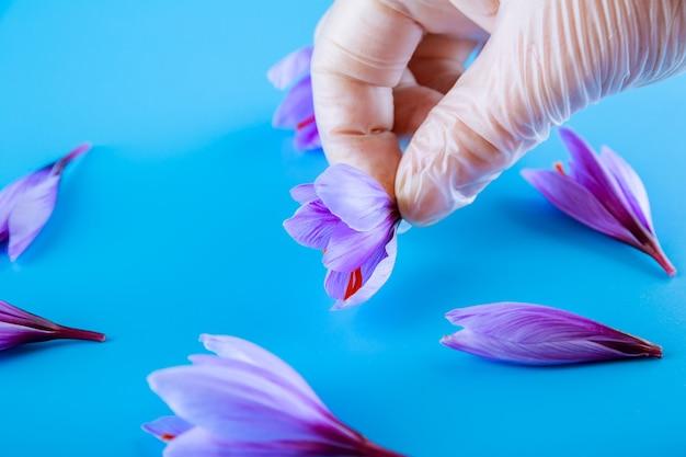 Hält eine krokusblume in einer hand in einem handschuh vor einem türkisfarbenen hintergrund. safran mit roten staubblättern.