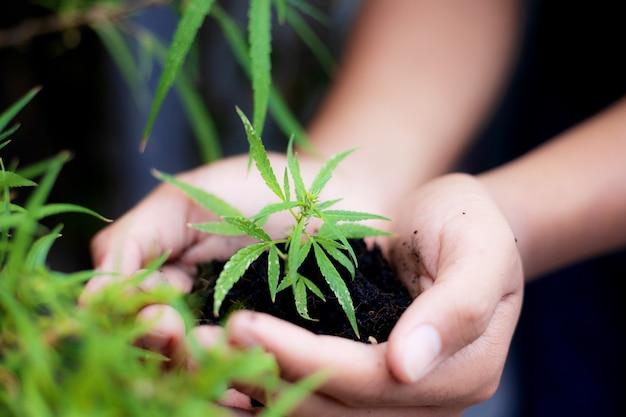 Hände des bauern, der marihuana zur plantage im feld hält.
