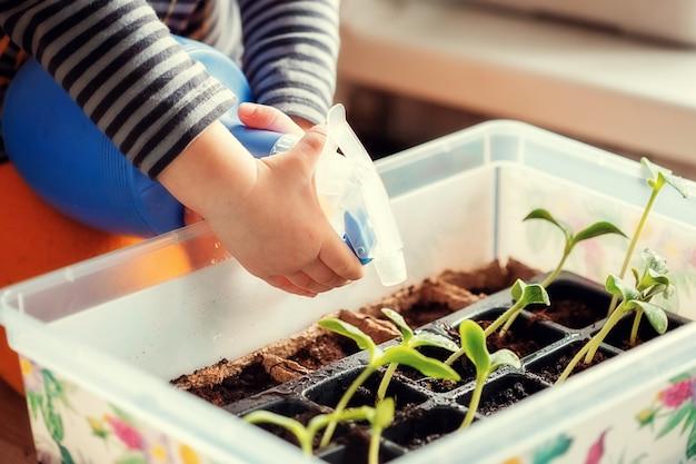 Hände des kleinen kaukasischen jungen 2 jahre alt, der sämlinge von einer gießkanne gießt, während er auf dem tisch sitzt und sämlinge für das pflanzen in einem gewächshaus vorbereitet