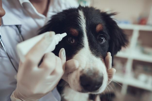 Hände des tierarztes in handschuhen tragen augentropfen für hund auf