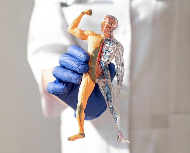 Hände, die den hautlosen menschlichen körper halten d modellkörper-kreislauf- und muskelsystem-anatomie-medizinisches konzept