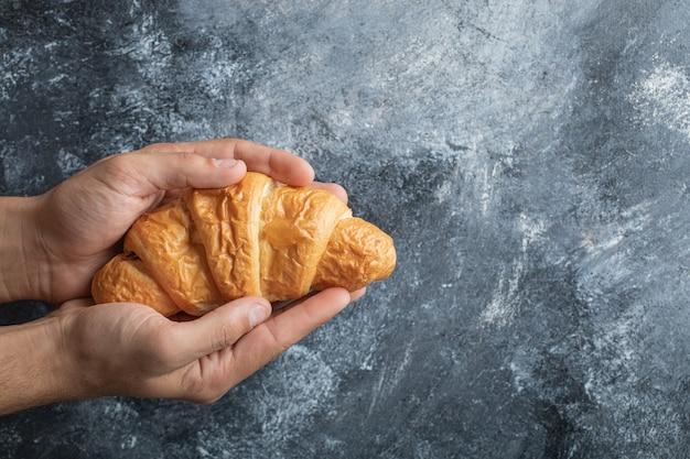 Hände, die ein köstliches croissant auf grauem hintergrund halten.