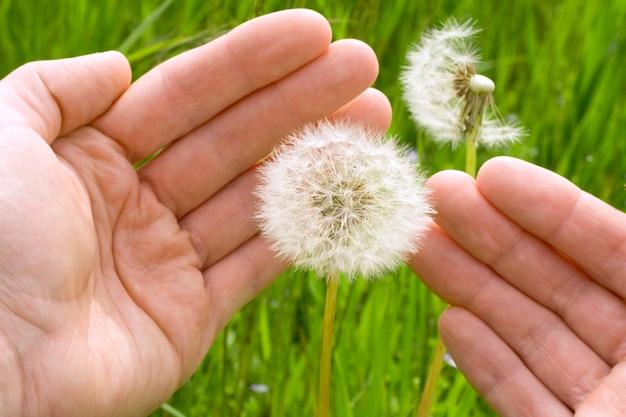 Hände, die einen löwenzahn vor dem wind schützen
