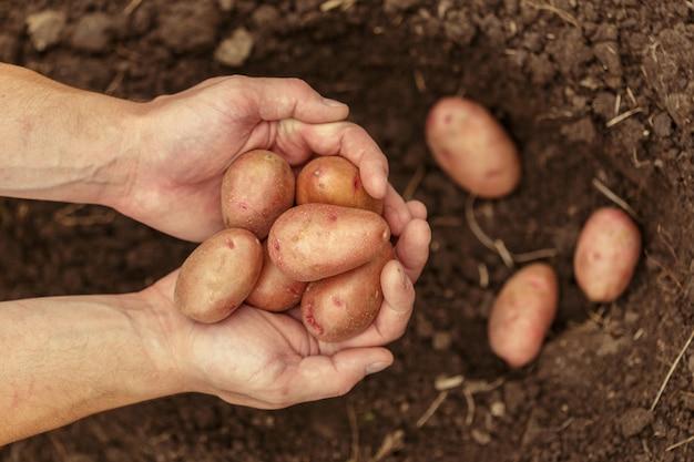 Hände, die frische organische kartoffeln vom boden ernten