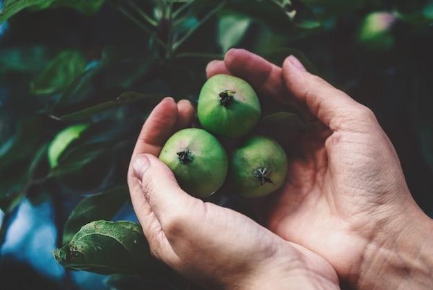 Hände, die grüne äpfel auf einem ast halten