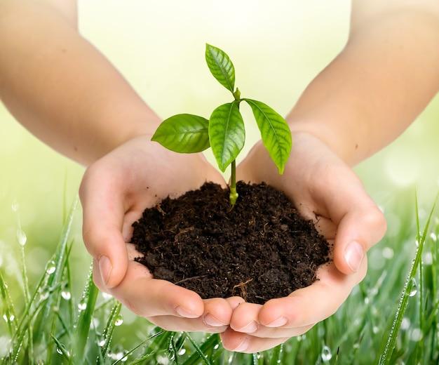 Hände, die junge pflanze auf naturhintergrund des grases mit tau halten. umweltschutzkonzept.