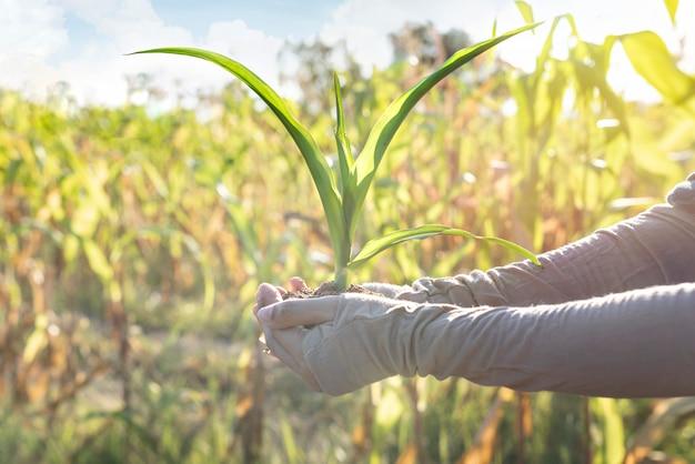 Hände, die jungen mais für das pflanzen im garten halten