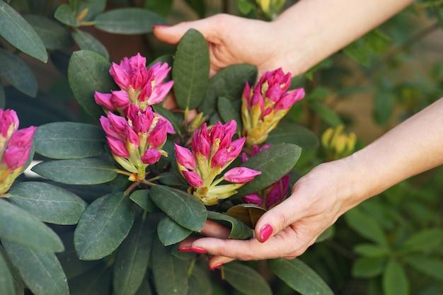 Hände, die rhododendron busch umarmen
