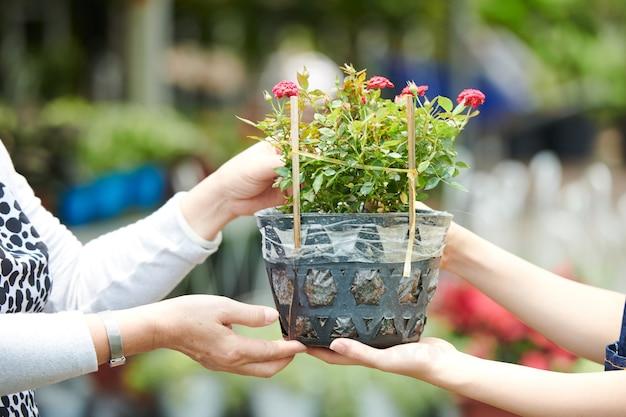 Hände einer frau mittleren alters, die blühende pflanze im blumentopf im gartencenter kauft