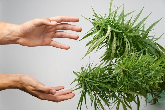 Hände eines wissenschaftlers in einem hanffeld, der cannabispflanzen überprüft