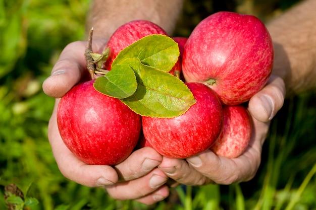 Hände halten rote äpfel