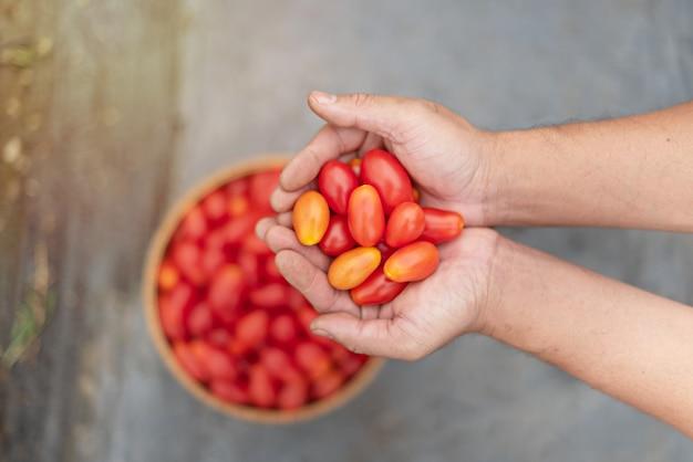 Hände halten tomaten und einen korb