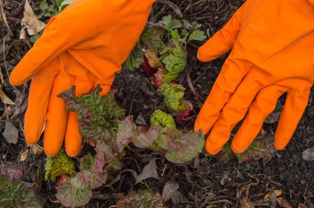 Hände in den orange handschuhen, die für jungen rhabarber im garten sich interessieren