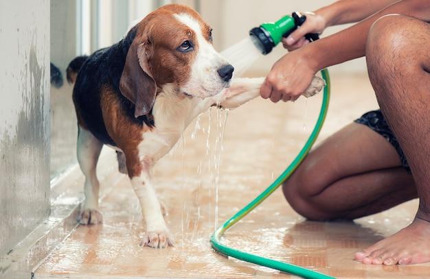 Hände sprühen wasser auf den beaglehund. zur körperreinigung
