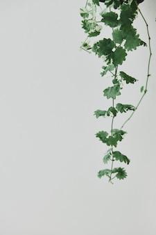 Hängende efeupflanze auf hellgrauem hintergrund