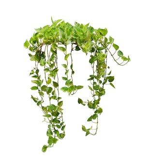 Hängende herzform grün bunte blätter der tropischen zimmerpflanze isoliert auf weißem hintergrund