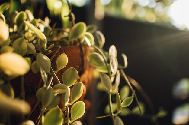 Hängende pflanze im warmen sonnenlicht des morgens.