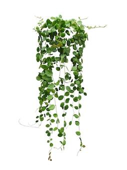 Hängende weinpflanze saftige blätter von hoya (dischidia ovata benth), zimmerpflanze isoliert auf weißem hintergrund.