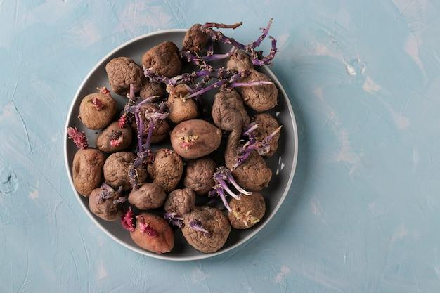 Hässliche gekeimte kartoffeln in einem teller auf hellblauem hintergrund, textfreiraum, horizontale ausrichtung