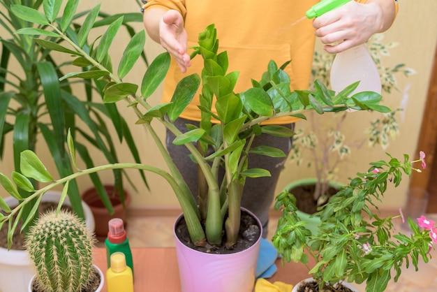 Häusliche pflege für zimmerpflanzen, sprühen sie blumen mit einer spritzpistole nach hause. eine frau in einem gelben pullover wäscht und pflegt pflanzen.