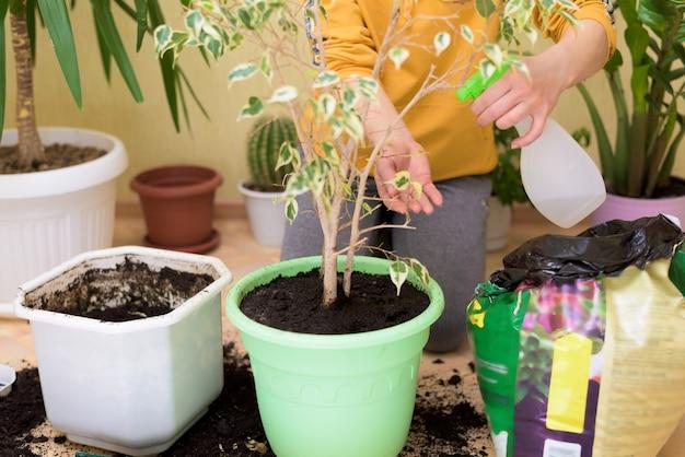 Häusliche pflege für zimmerpflanzen, sprühen sie blumen mit einer spritzpistole nach hause. eine frau wischt die blätter ab, wäscht und pflegt sie.