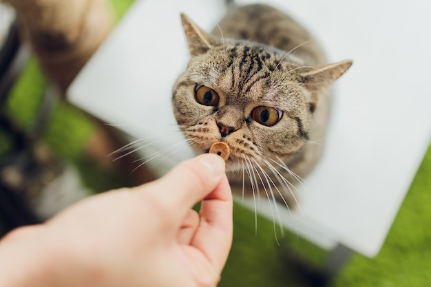 Häusliches leben mit haustier. junger mann gibt seinem katzenfleischsnack.