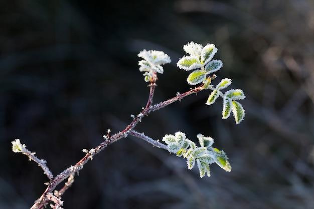 Hagebuttenblätter mit raureif. ein wilder rosenstrauch mit frost auf dunklem hintergrund. erster frost im herbst. raureif auf dogrosezweigen.