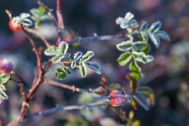 Hagebuttenblätter und beeren mit raureif. ein wilder rosenstrauch mit frost auf dunklem hintergrund. erster frost im herbst. raureif auf dogrosezweigen.