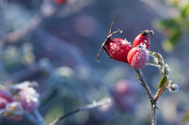 Hagebuttenblätter und beeren mit raureif. ein wilder rosenstrauch mit frost. erster frost im herbst. raureif auf dogrosezweigen.