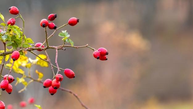 Hagebuttenbusch mit roten beeren auf einem unscharfen hintergrund