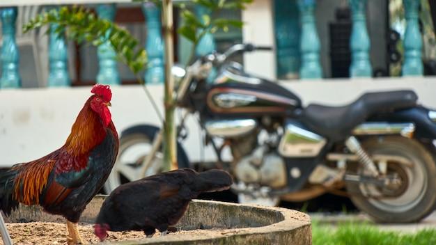Hahn auf dem hintergrund des motorrads. thailand.