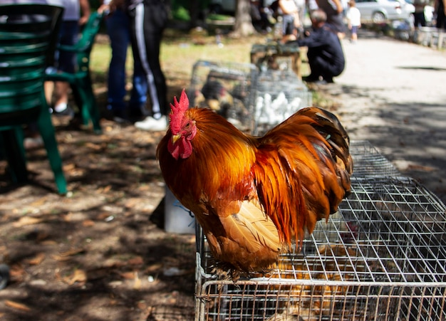 Hahn auf einem käfig, landwirtschaftliche ausstellung in moldawien. selektiver fokus.
