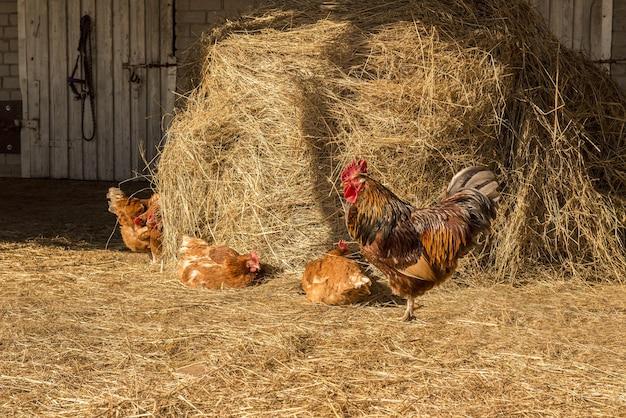 Hahn mit hühnchen, das auf heu auf der landschaftsherde von hühnern geht, die auf dem heu weiden lassen
