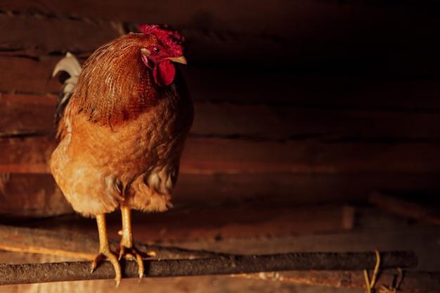 Hahn mit hühnern, auf einem bauernhof in einem holzraum.