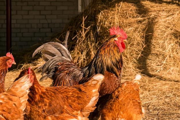 Hahn mit hühnern, die auf einem heu auf dem land spazieren. hühnerherde grasen auf dem heu. henne, die im feld weiden lässt. welsummer-hühnerhenne, die mit einigen anderen hühnern geht.