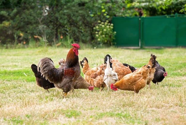 Hahn und hühner grasen auf dem gras.