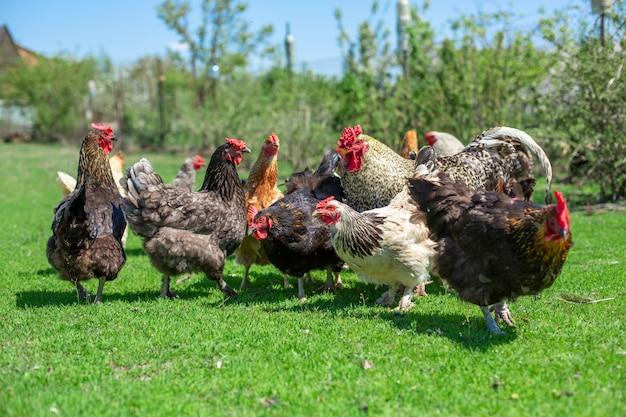 Hahn und hühner lassen auf grünem gras weiden