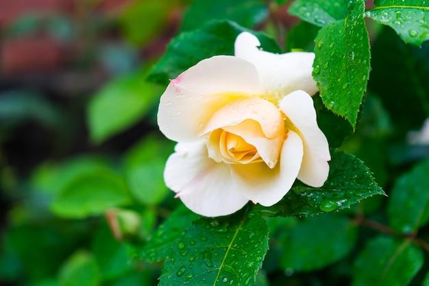 Halbblühende weiße waldrose und ihre grünen blätter