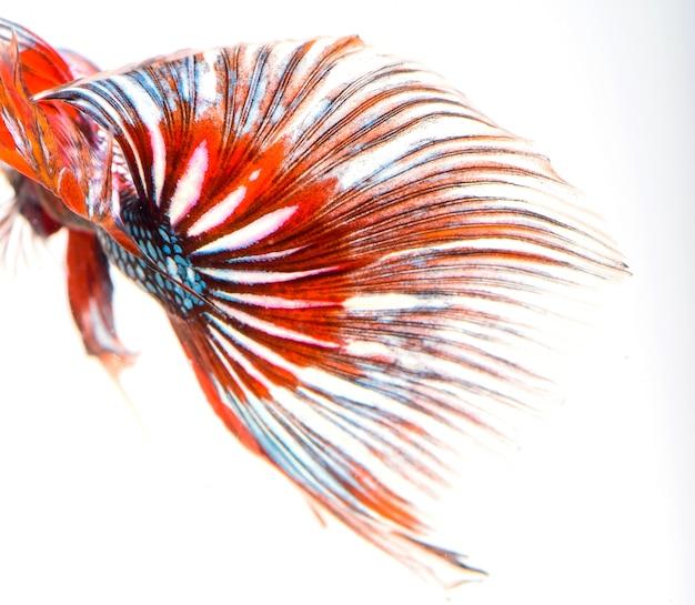 Halbmond-betta-fische, siamesische kampffische, fangbewegungen von fischen