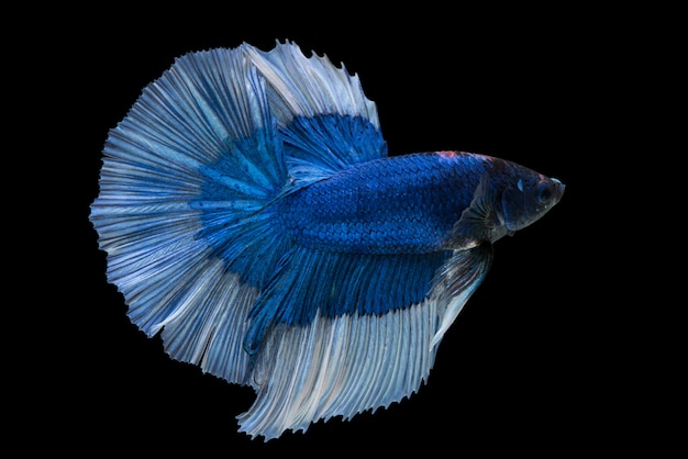 Halbmond betta fish