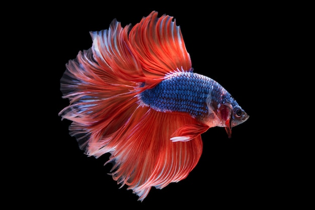 Halbmond betta fish