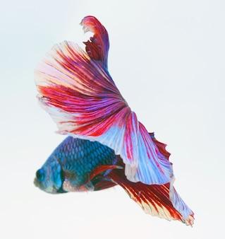 Halfmoon betta fisch, siamesische kampffische, capture bewegung von fischen, betta splendens