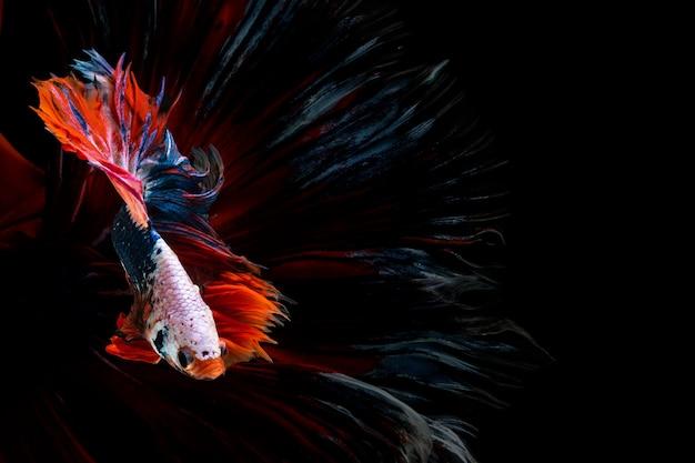 Halfmoon betta schöner fisch. erfassen sie den bewegenden moment, der von siam betta fisch schön ist