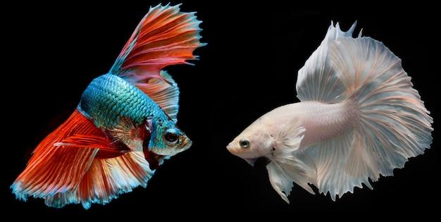 Halfmoon bettafisch, siamesischer kampffisch, fangbewegung von fischen, betta splendens