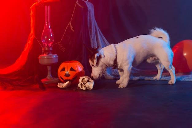 Halloween feier konzept lustiger hund und halloween künstlicher schädel