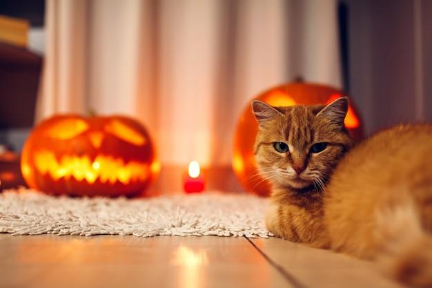 Halloween feier. rote katze, die durch geschnitzte kürbise auf küche sitzt. jack-o-laterne.