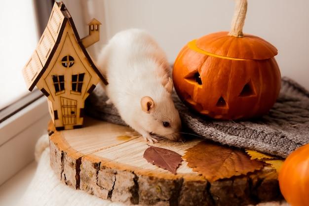 Halloween ratte und kürbis ratte und kürbis für halloween deko ratte herbstfarben