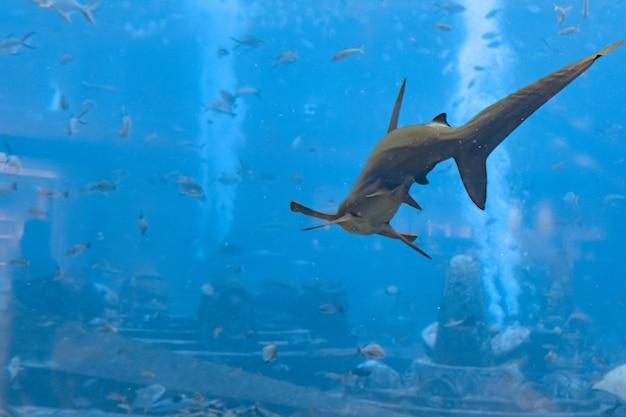 Hammerhai im aquarium. der große hammerhai (sphyrna mokarran) ist die größte hammerhaiart und gehört zur familie der sphyrnidae. atlantis, sanya, insel hainan, china.