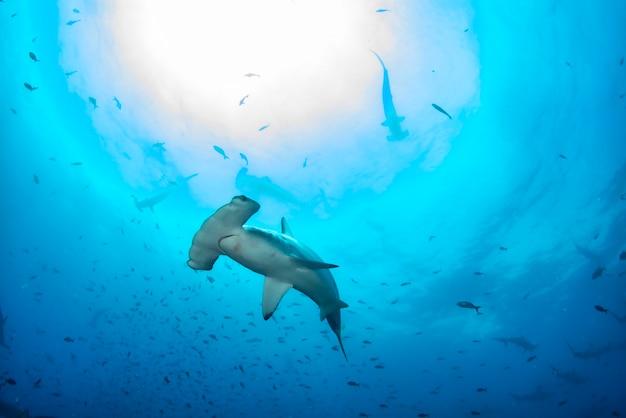 Hammerhai (sphyrnidae) schwimmen in tropischen unterwasserwelten. hammerhai in der unterwasserwelt. beobachtung von wildtieren ozean. tauchabenteuer an der ecuadorianischen küste von galapagos