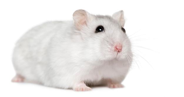 Hamster, 6 monate alt,
